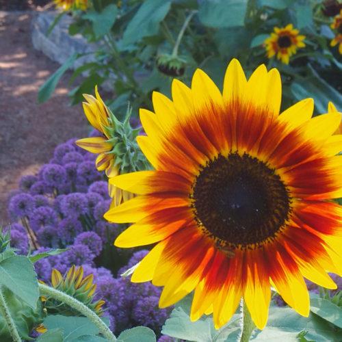 Flower at Central Gardens of North Iowa